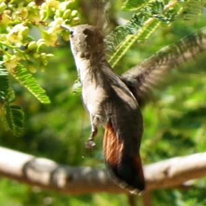 Ruby Topaz Hummingbird Rode Kolibrie Dornasol Chrysolampis Mosquitus