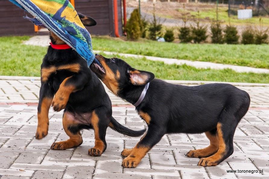 Rottweiler suczki