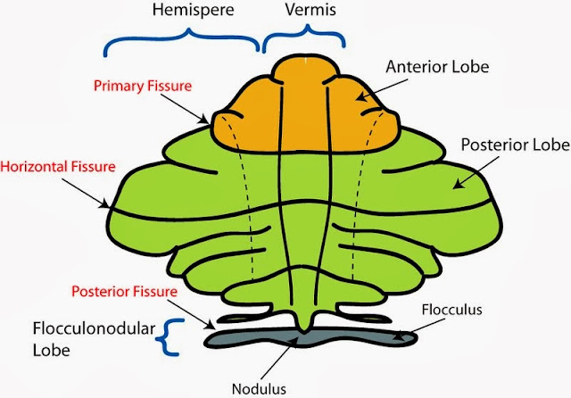 Gross anatomy of cerebellum