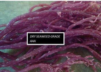 Khasiat rumpai laut ungu gred AAA
