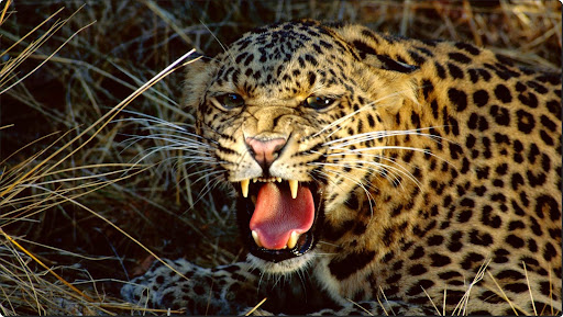 Snarl, Spotted Leopard.jpg