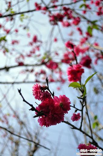 芬園花卉生產休憩園區八重櫻