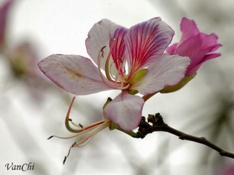 hoa ban trang moc chau pystravel007 Tháng Ba lên cao nguyên ngắm hoa ban trắng Mộc Châu