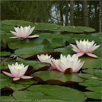 Nymphaea 'Suavissima' - Lilia wodna kwiaty i liście