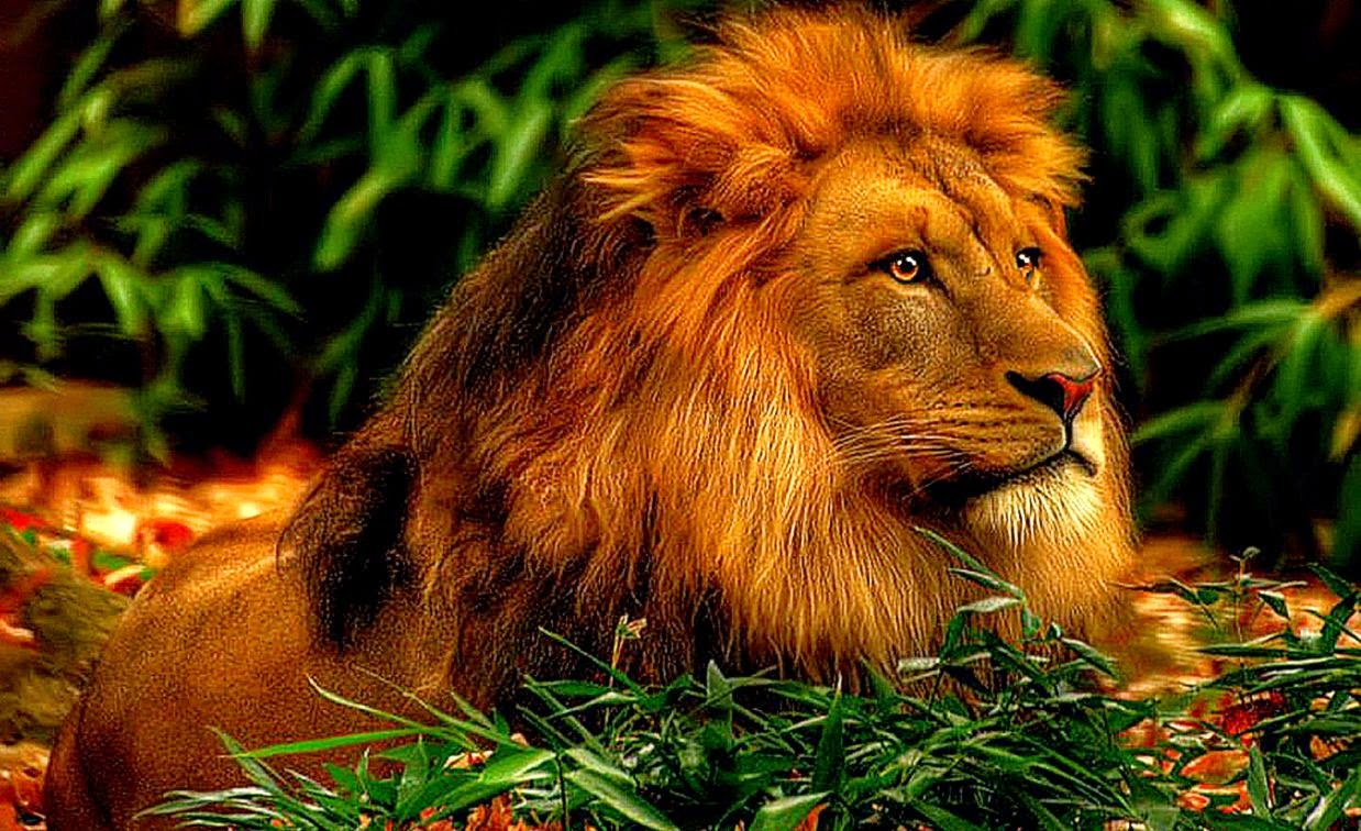 Wallpaper download lion - Lion Wallpaper Downloads For Your Needs In Monitor Beautification