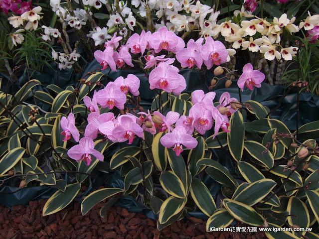 葉子為斑葉的蝴蝶蘭品種 | iGarden花寶愛花園