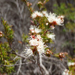 Tickbush (Kunzea ambigua) Flower (104350)