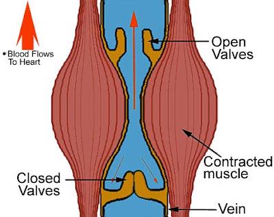 Arteries, Veins & Capillaries