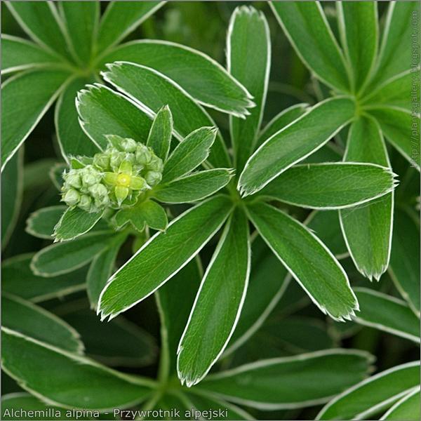 Alchemilla alpina flower and leaf - Przywrotnik alpejski liść, kwiat i pąki kwiatowe