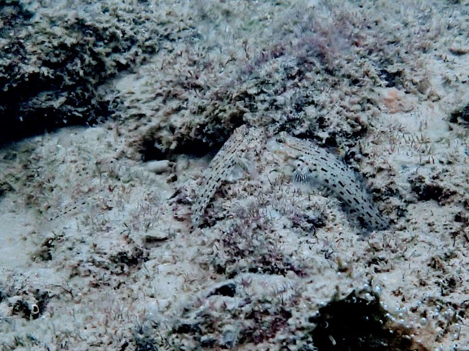 Istigobius ornatus (Ornate Goby), Miniloc Island Resort reef, Palawan, Philippines.