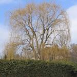 Salix alba pendula Tristis