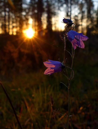 campanule+en+fleur+kipina+096.JPG