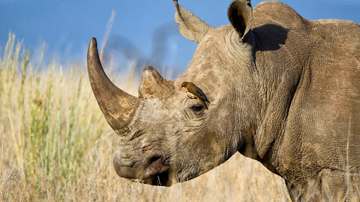 White Rhinoceros With a Red-Billed Oxpecker, Kenya.jpg