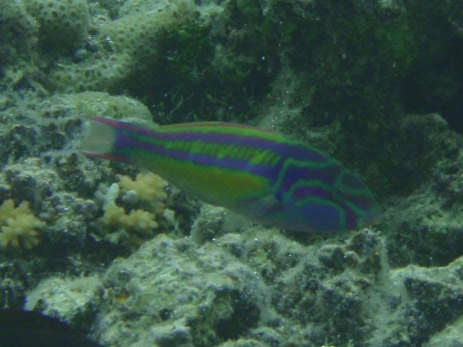 Thalassoma quinquevittatum (Five-stripe Wrasse), Aitutaki.