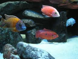 FreshwaterOrnamentalFish: Blood-Red Jewel Cichlid (Hemichromis ...