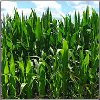field corn growing