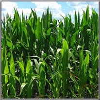 field corn growing