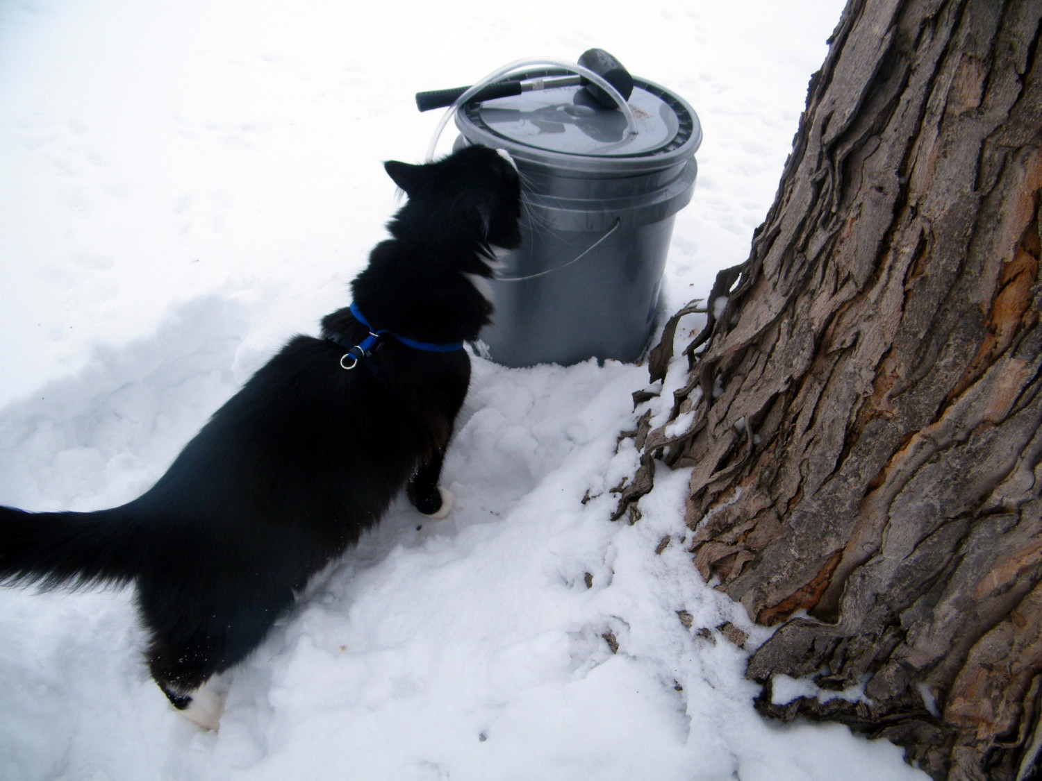 how to make maple syrup in your own backyard part 1 tapping a tree