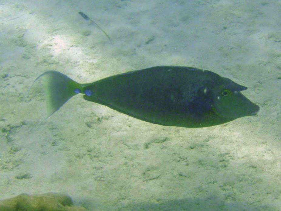 Naso unicornis (Unicorn Surgeronfish), Rarotonga.