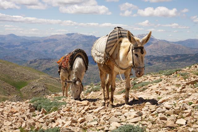 Mules to go up Mount Nemrut