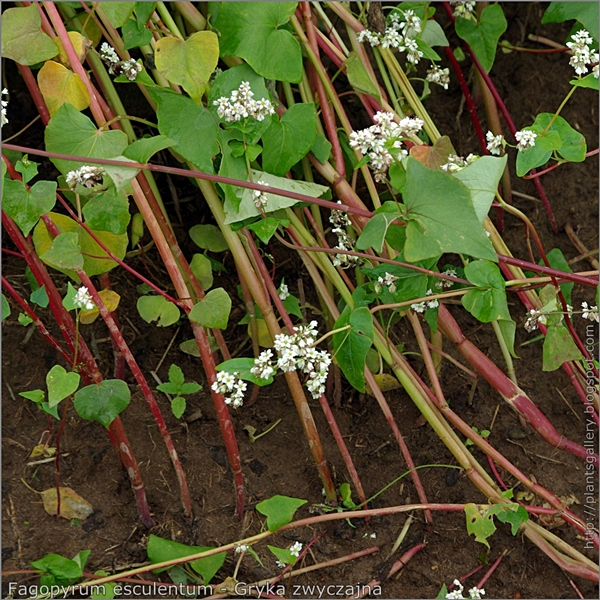 Fagopyrum esculentum - Gryka zwyczajna łodygi część odziomkowa