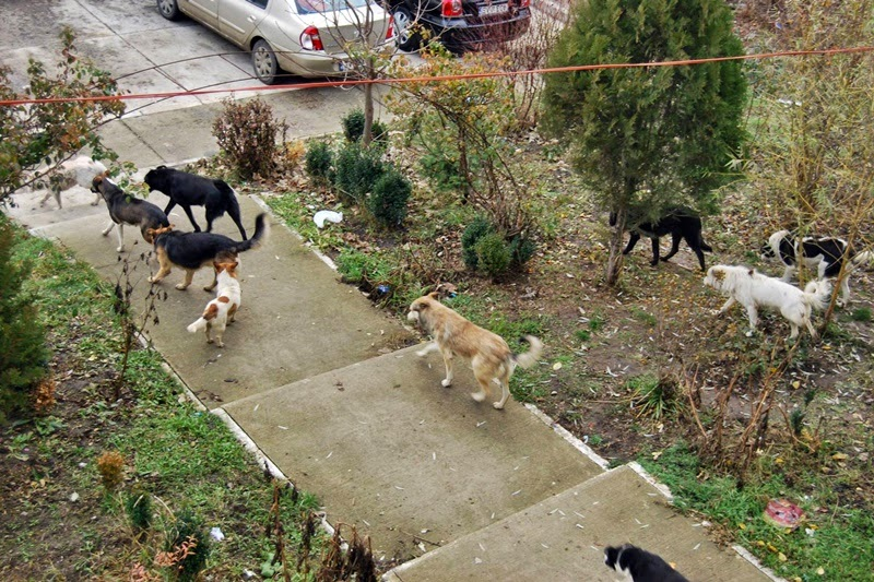Haită de câini în cartierul ANL din zona Gării Burdujeni, municipiul Suceava
