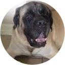Mastiff Rescue of FL