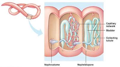 nefridium cacing Sistem Ekskresi (1): Sistem ekskresi pada hewan rendah