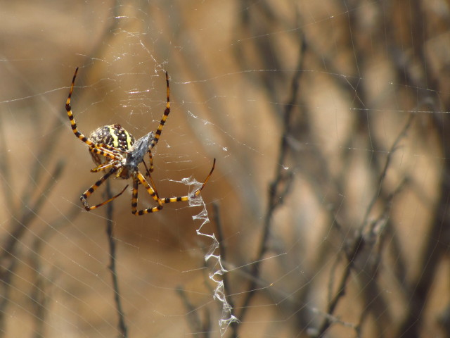 big yellow and black spider, probably Argiope aurantia, with a single stabilimenta in its web and a bit of prey