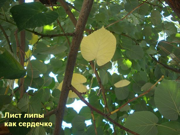 лист липы