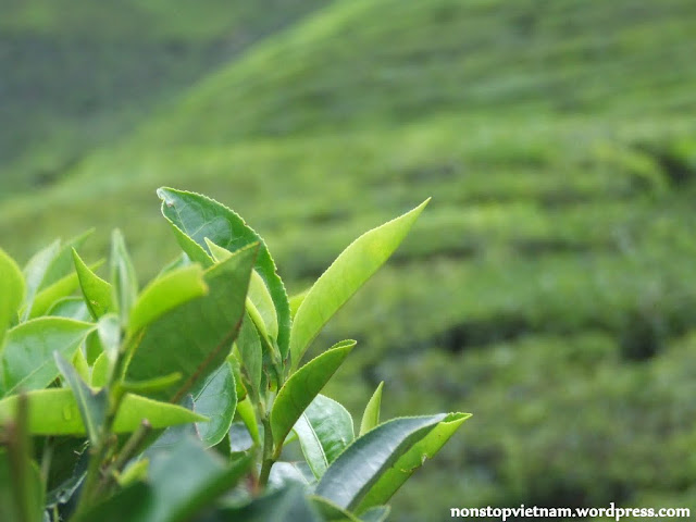 Tea leaf / Tealevél