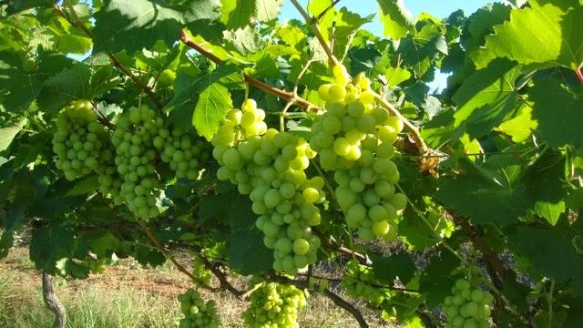 Ufersa: Pesquisas mostram viabilidade para cultivo da uva em Mossoró