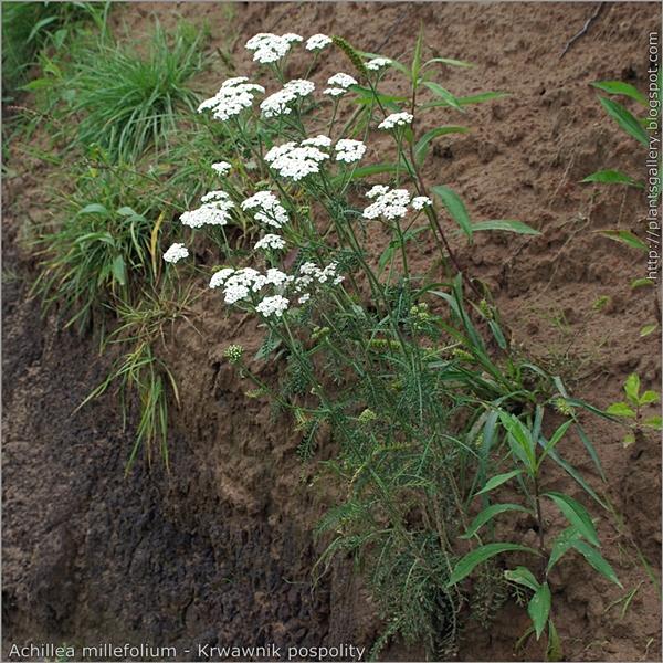 Achillea millefolium habit - Krwawnik pospolity pokrój