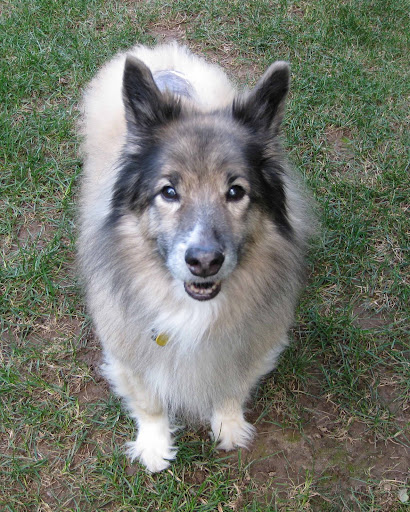 Keeshond mix with bald spot on back.