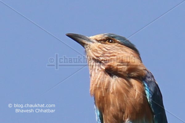 Beautiful Indian Roller [Coracias Benghalensis] looking up
