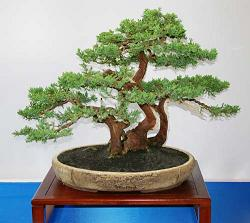 bonsai sztuka miniaturyzacji style bonsai. Black Bedroom Furniture Sets. Home Design Ideas