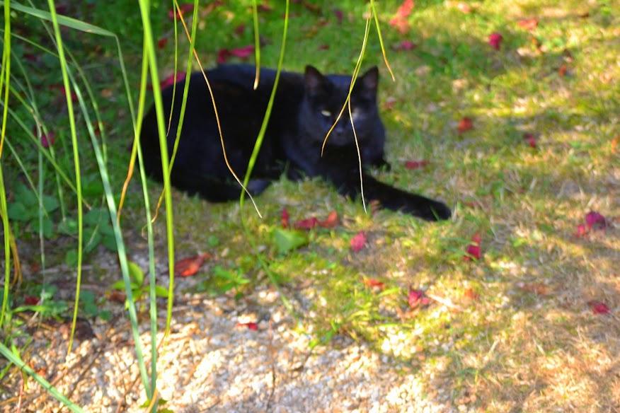chat  en été  dans les animaux amis