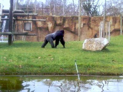 Зоопарк Лиссабона - горилла фото