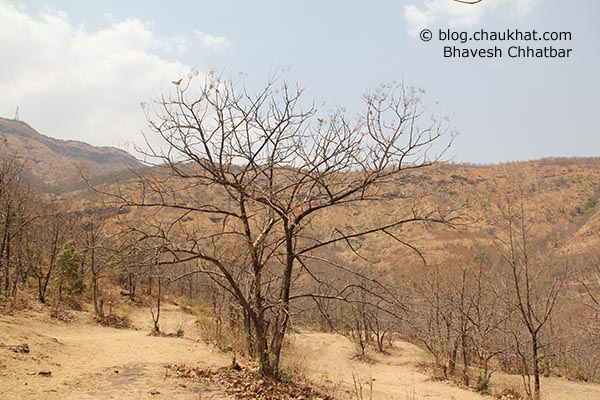Leafless tree near Sinhgadh Valley during the hardest time of the year, which is the month of May