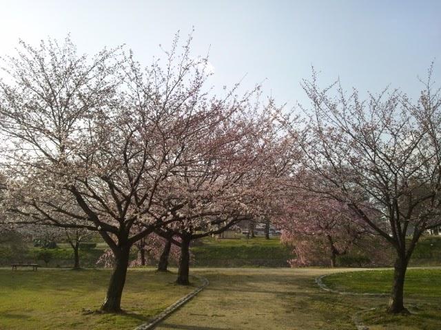 【動画】春嵐-石手川公園の桜が倒れていました。
