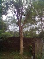 Cây Lộc Vừng, cây cảnh công trình