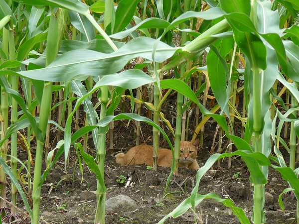 cat in the corn stalks