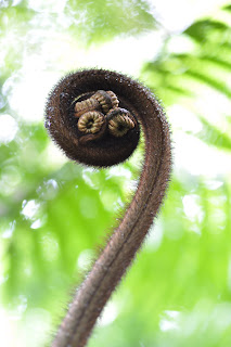 I think this is the characteristic fiddlehead of hapu'u i'i (Cibotium menziesii)