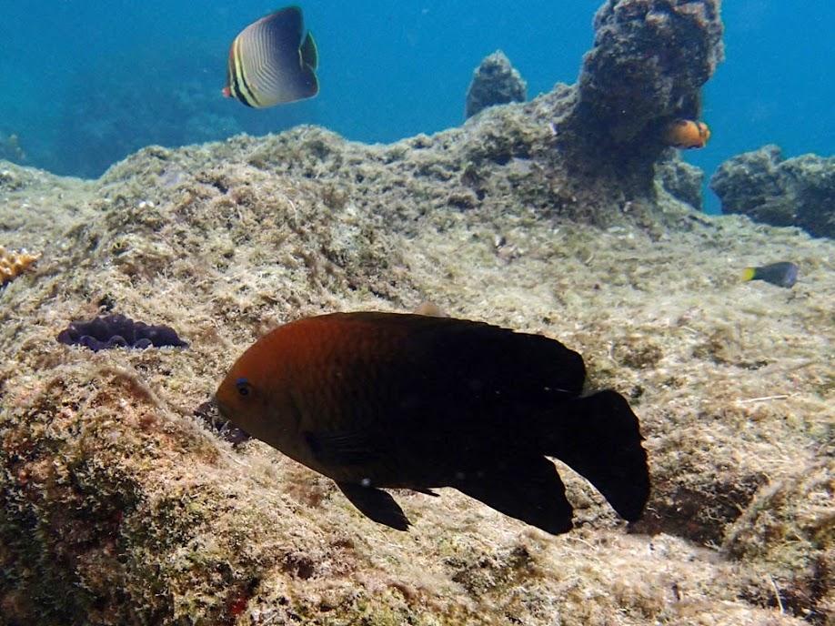 Unidentified Damselfish, Miniloc Island Resort reef, Palawan, Philippines.
