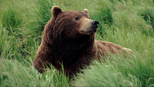 Grizzly Bear, Near McNeil River, Alaska.jpg
