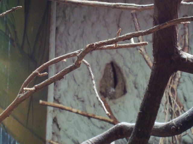 Dziupla, w której schowane są młode toko czarnoskrzydłe