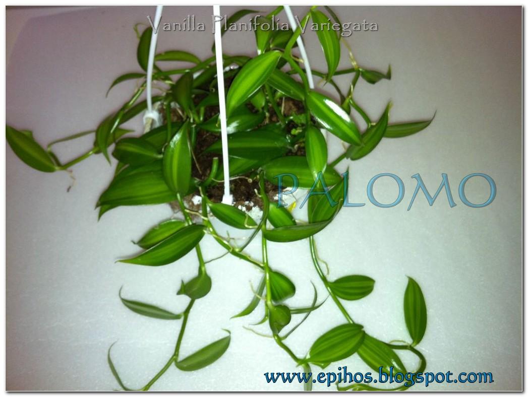 Epiphyllum Hoya Stapelia: Vanilla Planifolia Variegata