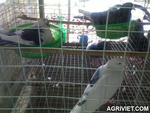 Agriviet.Com-bo_cau_giong_de_32.jpg