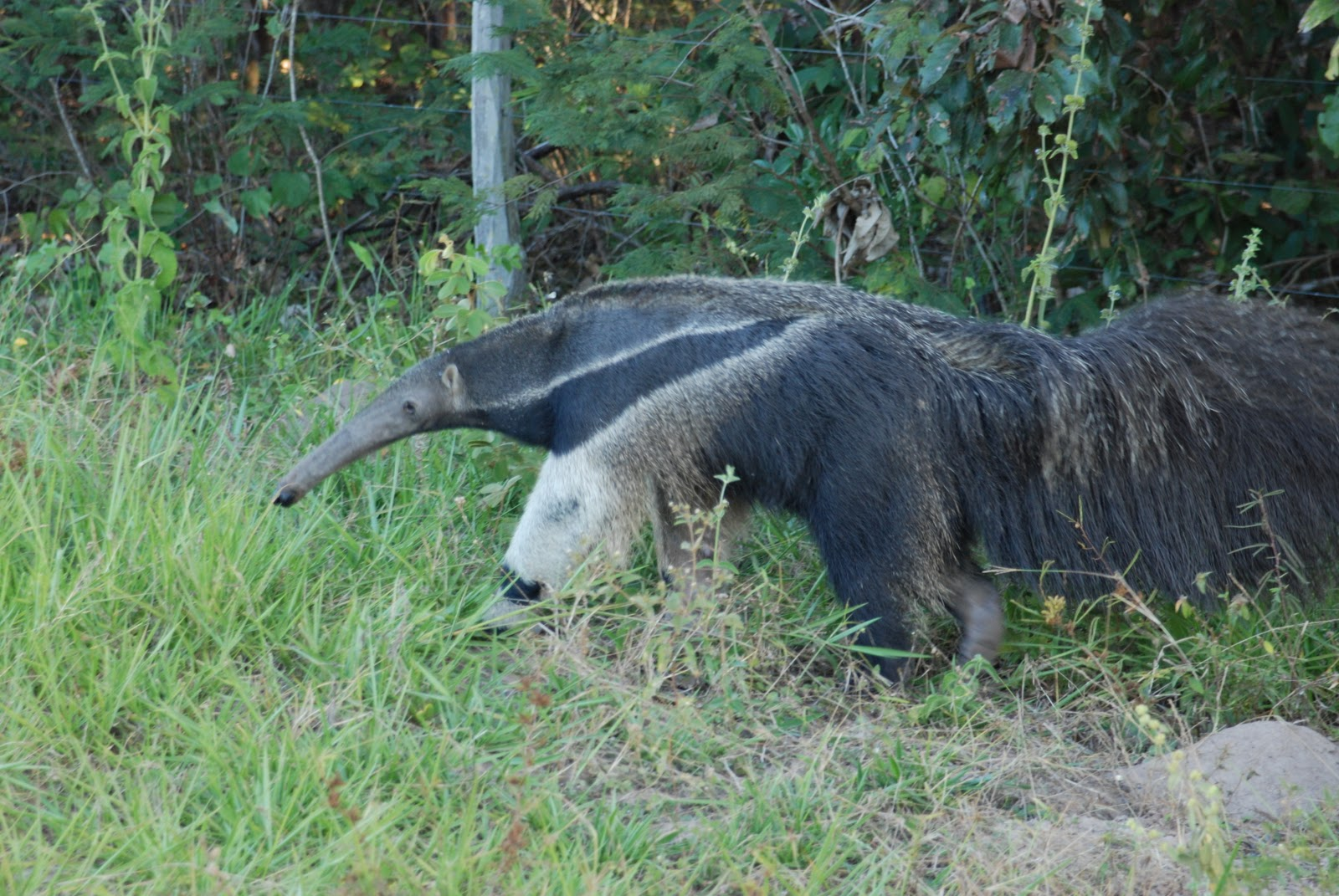 Giant Anteater in the Brazilian Pantanal