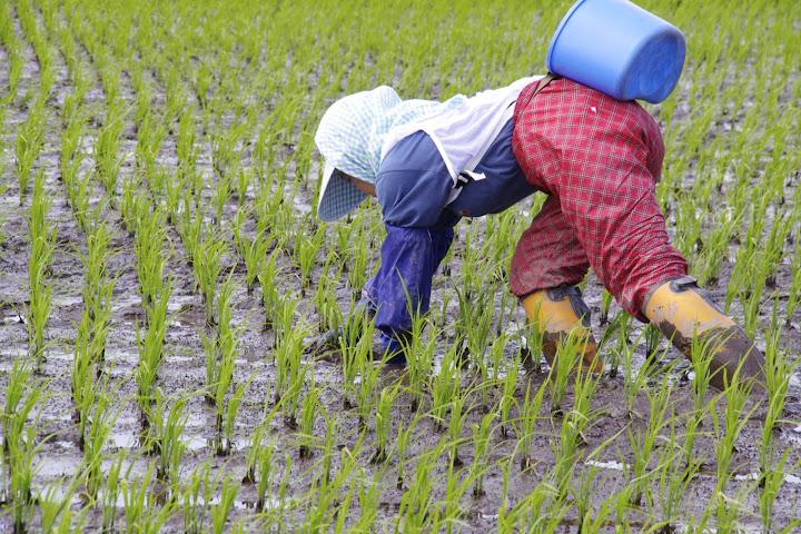 スマートスーツ・ライトを、有機栽培米の草取りでモニター中